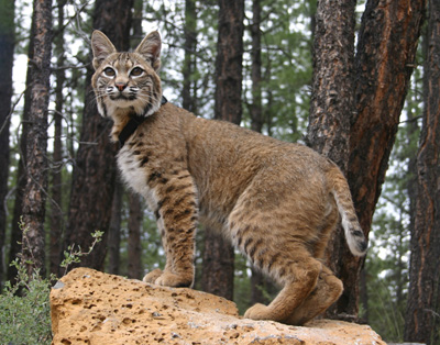 RufusBobcat.jpg