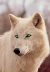 Evan-wolf.jpg